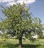 merisier prunus avium