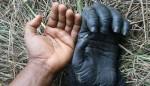 Mains humain / gorille