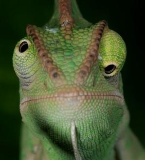 pas de surveillance par les yeux du caméléon