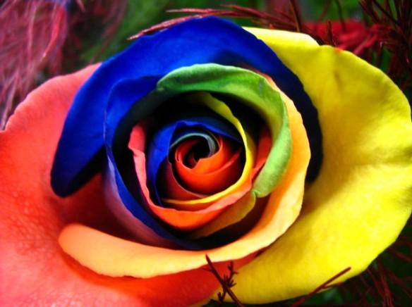 image d'une rose multicolore